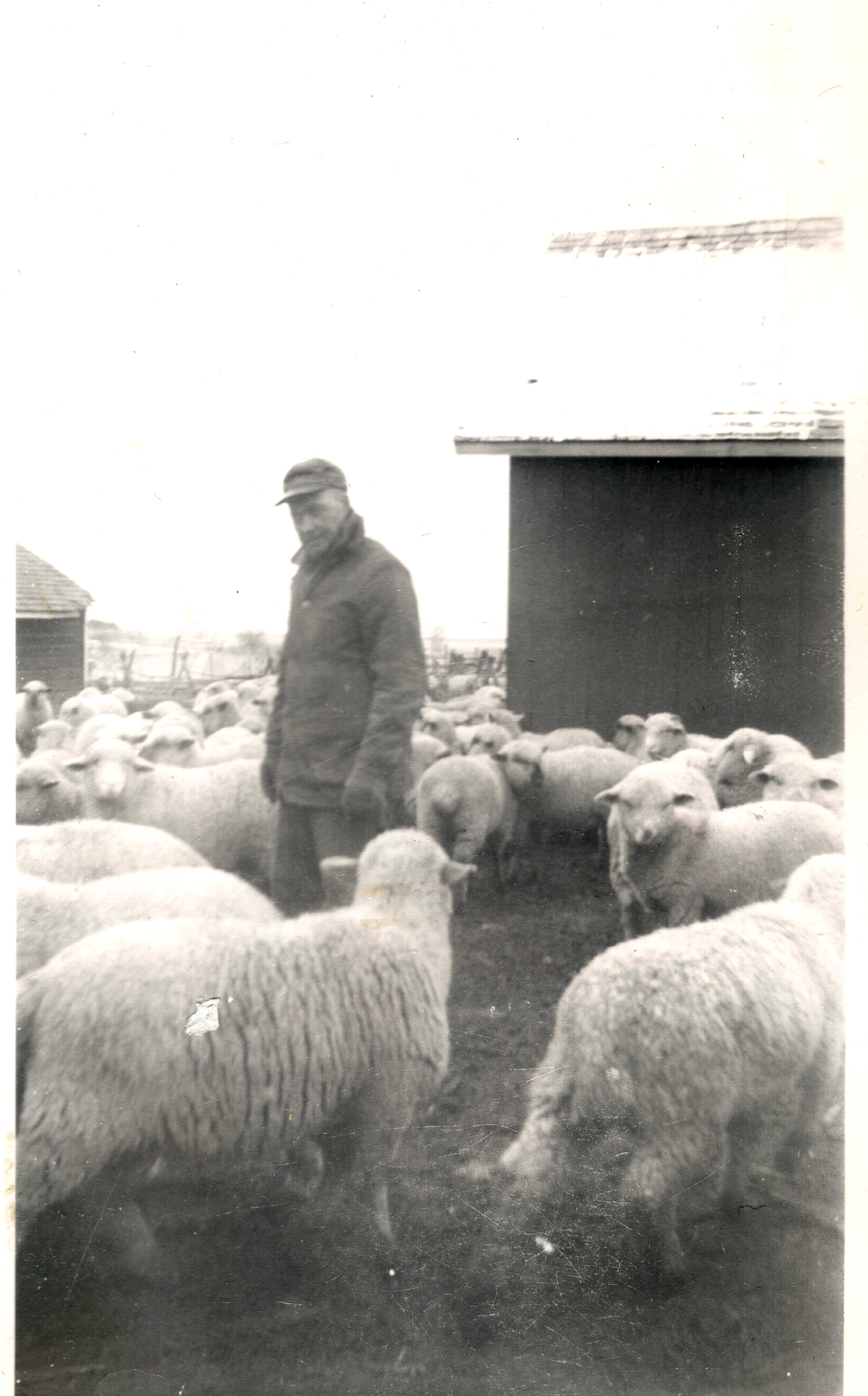 Charles France and his sheep